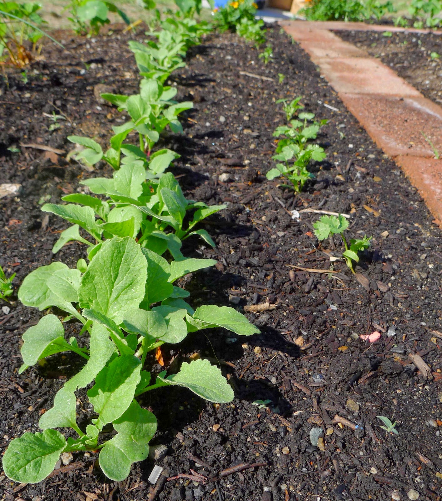 Radishes and Cilantro, using vegetables in an edible landscape