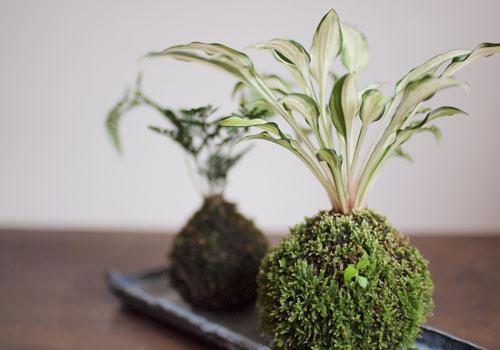 Kokedama plantas sin maceta tutorial taringa for Jardines sin plantas