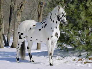 razas-de-caballos-venta-de-potros-yeguas-appaloosa-carrera-de-video