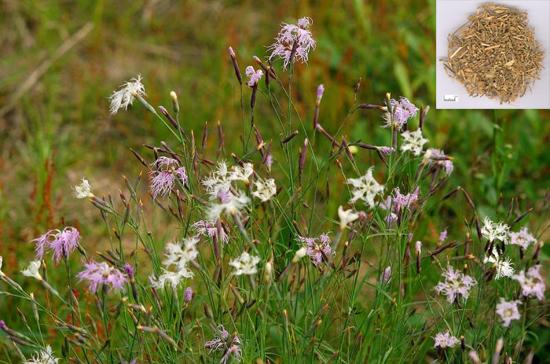 Dianthus superbus L. (Fam. Caryophyllaceae)