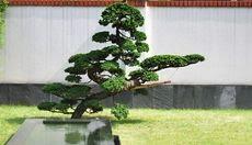 Landscape Architecture & Japanese Garden Trees