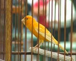 Burung Kenari Wallpaper