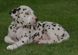 Price of a Dalmatian Puppy
