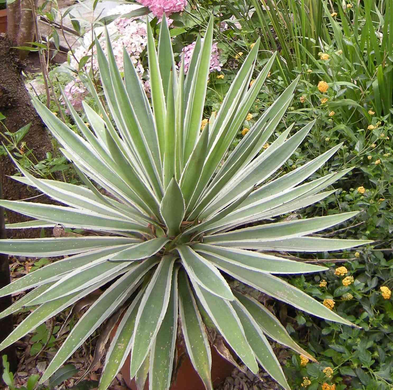 Cultivo y venta de heleboros acuaticas y agaves para el for Plantas minimalistas