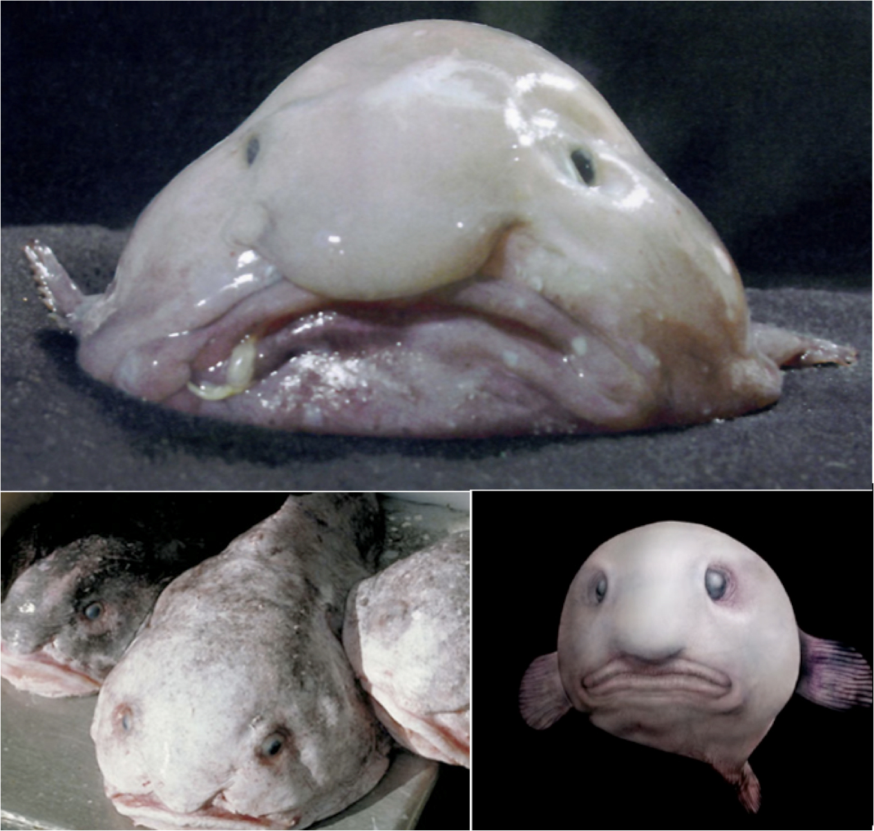 Fix up facts blobfish for Live to fish