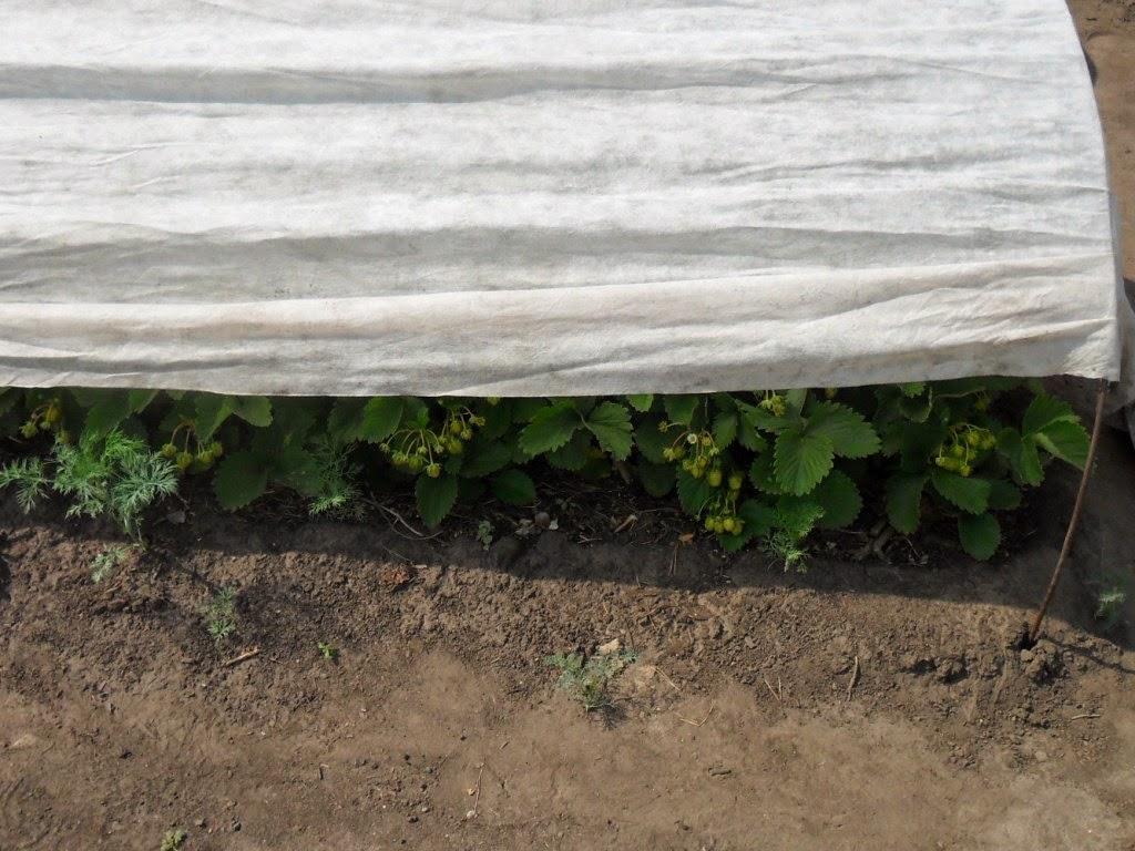 Клубника под тентом от солнышка