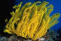 Sea Lilies