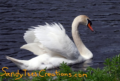 ruffled feathers on swan in lake