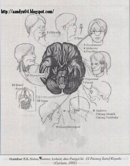 12 pasang saraf kepala