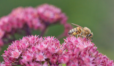 Sedum Purple Emperor - Blütezeit im August - wichtige Bienennahrung für Wildbienen