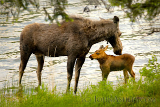 Moose cow and calf in June (c) John Ashley