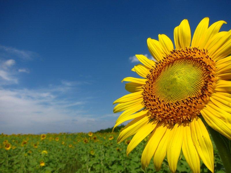 sunflower thai eskort i skåne