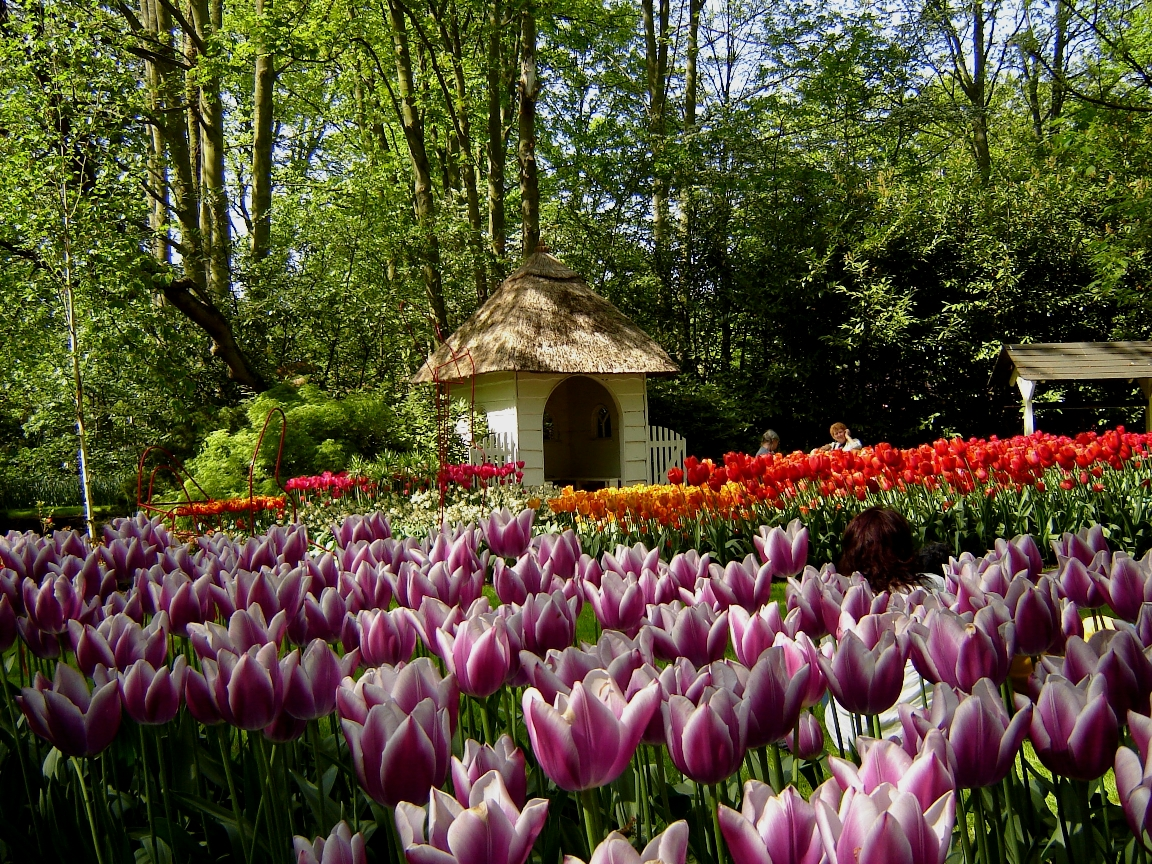 Holland Tulip Gardens HD Wallpapers HD Nature Wallpapers