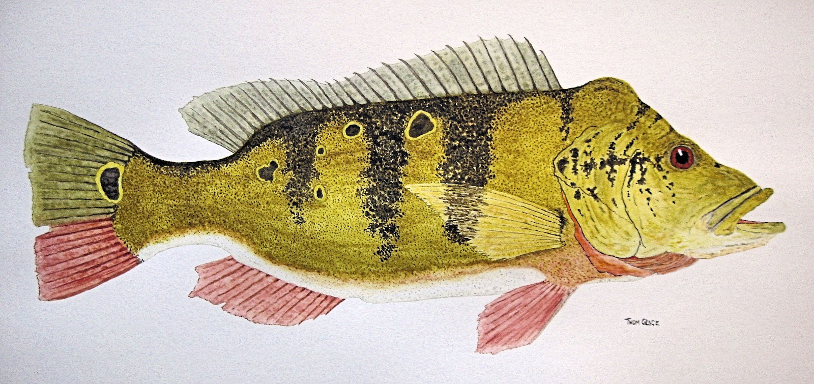 ... Study of an Adult Butterfly Peacock Bass (Cichla ocellaris