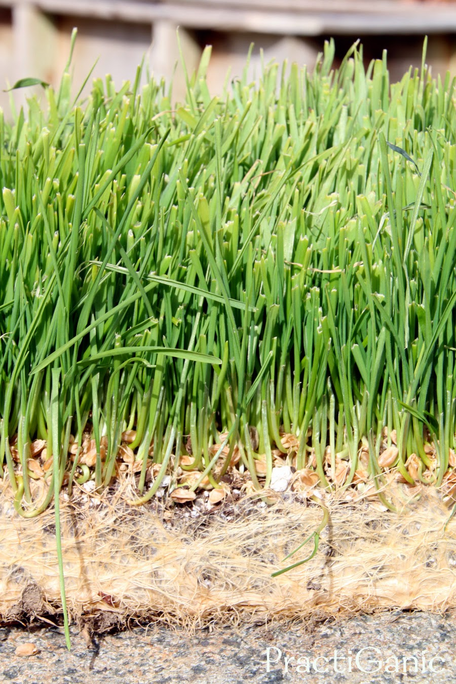 Why I Love Wheatgrass