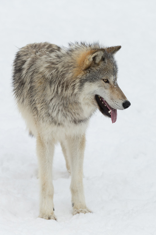 An adult wolf standing in the snow