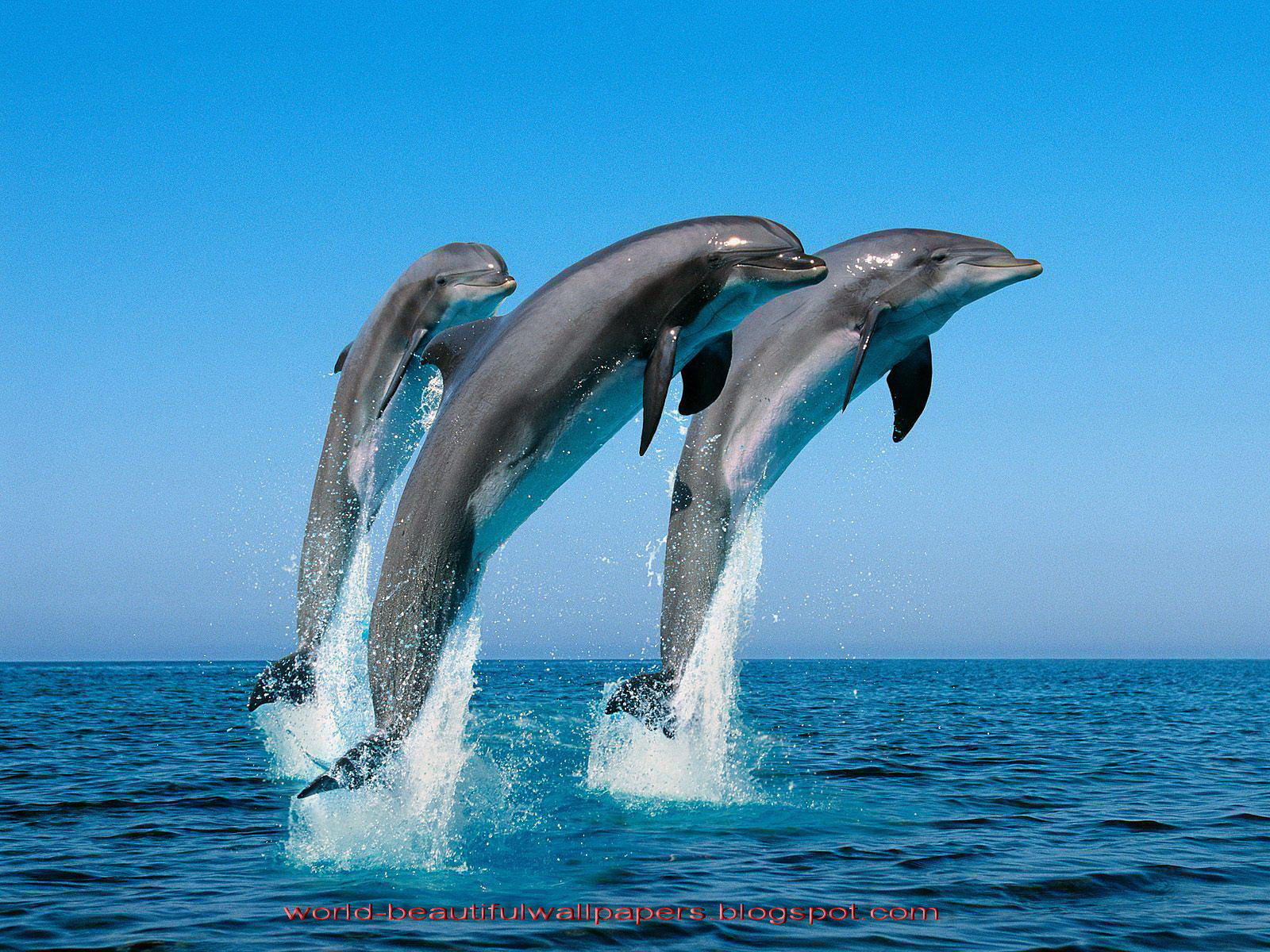 beautiful wallpapers beautiful dolphins