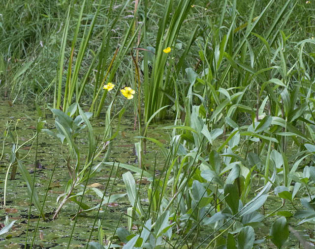 Greater Spearwort, Ranunculus lingua, in Ray's Pond.  Planted; the pond is artificial and recent.  Orpington Field Club outing to Jubilee Country Park, 18 July 2012