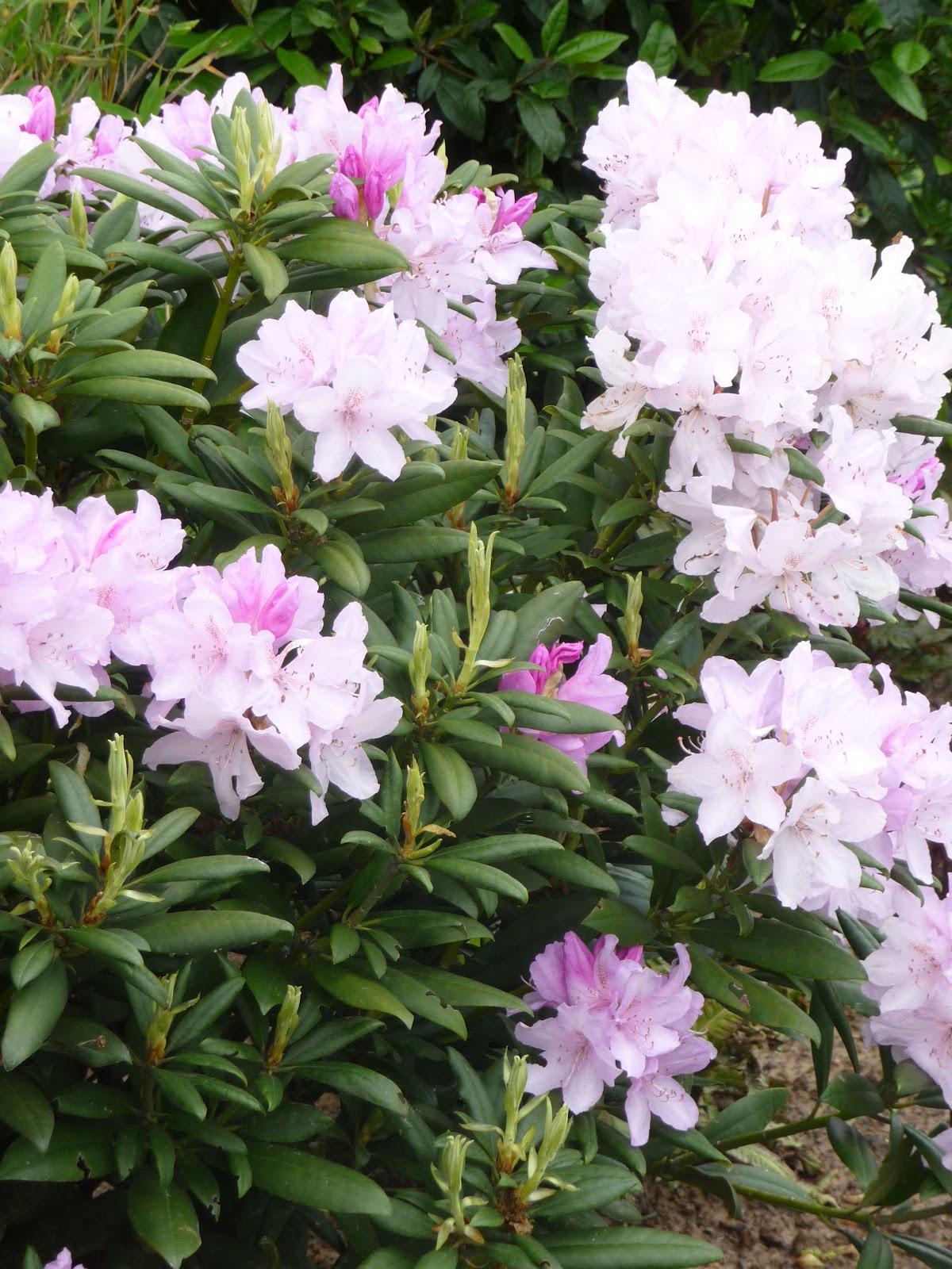 Ma terre de bruy re le jardin quinze jours plus tard - Rhododendron ne fleurit pas ...