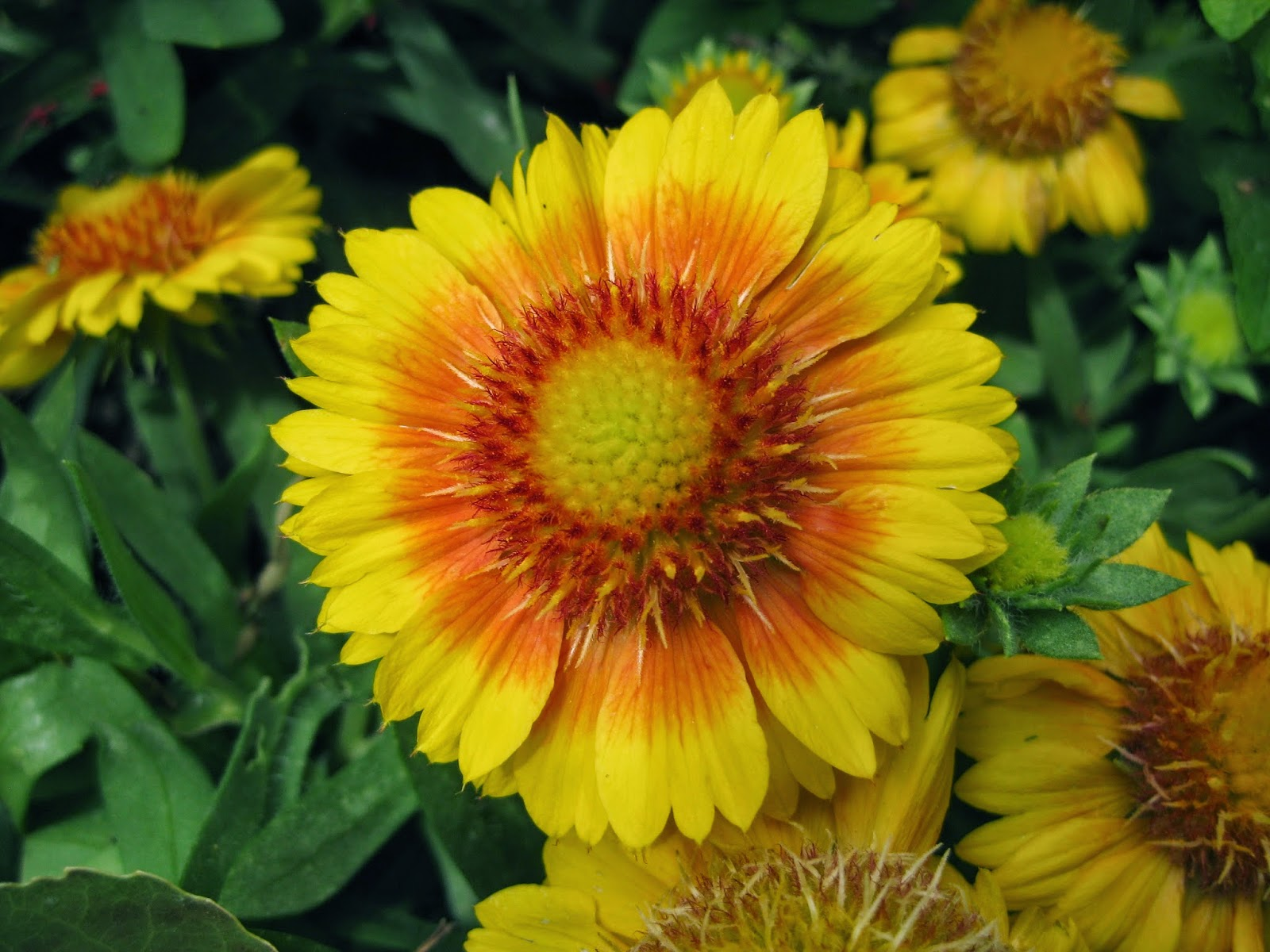 Blanket Flowers Add Punch