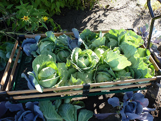 A wagon of cabbage heads