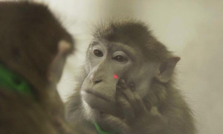 Macaco rhesus se identifica no espelho após treinamento: avanços no estudo de circuitos neurológicos