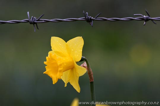 Don't forget, Daffodil Day next Friday 28 August photograph