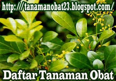 Tanaman Obat Pacar Cina (Aglaia odorata Lour.)