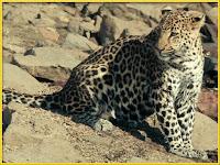 Leopard Panthera pardus pictures