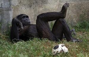 Imagenes Divertidas de Animales, Gorilas