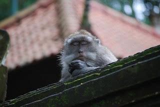 beruk monyet