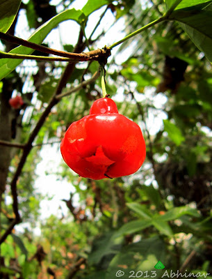 Rose Apple (Syzygium samarangense)
