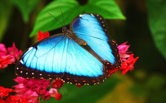 Imágenes de Animales: Mariposa Morpho Azul