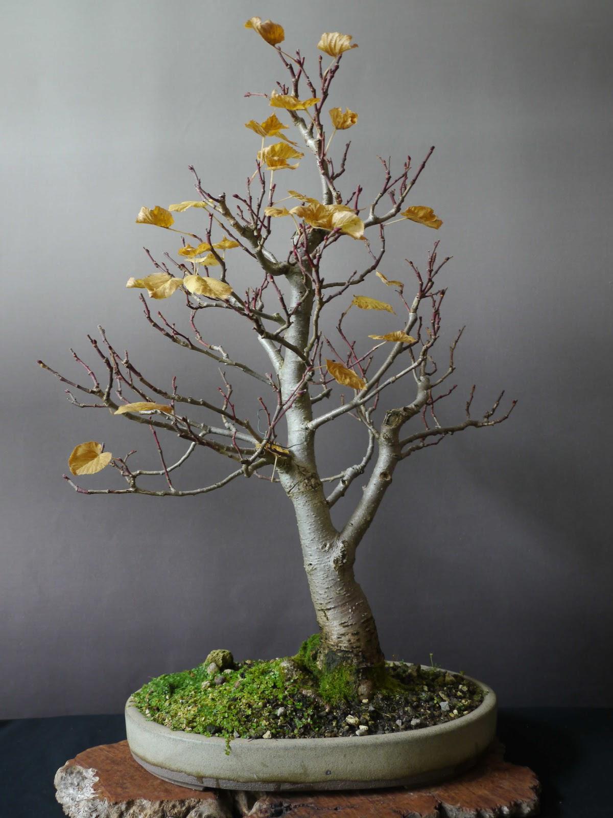 bonsai das sch nste hobby der welt tilia platyphyllos im herbst. Black Bedroom Furniture Sets. Home Design Ideas