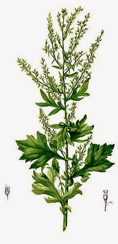 Benefits And Nutrition Of Artemisia Herb For Health