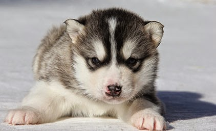 cute Alaskan Malamute puppy pictures b