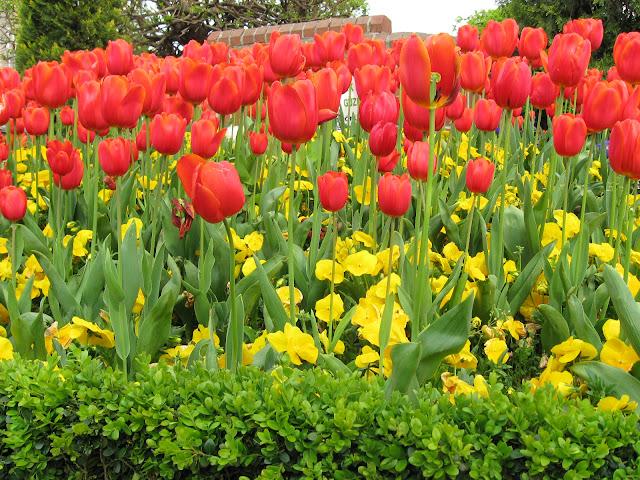 tulipani a Amstedam