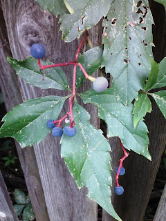 deceptive blue berries