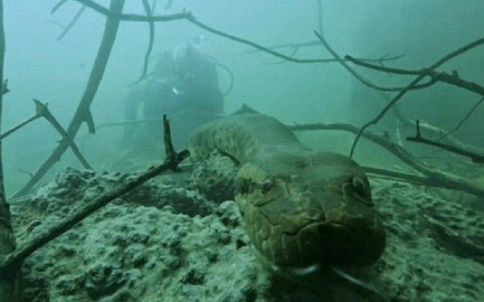 Apresentador toma maior susto ao encontrar anaconda de 91 kg no Brasil