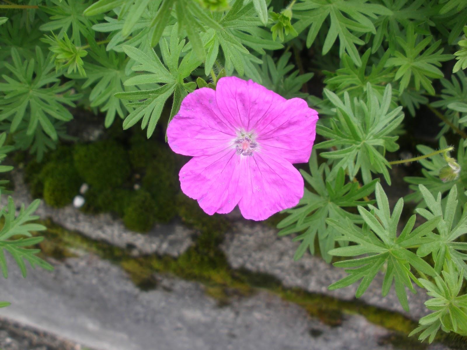 Di fiore in fiore geranio sanguigno