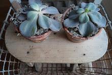 Nieuwe trend; vetplantjes
