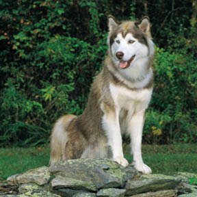 Siberian Husky dog breeds hd(hq) wallpaper free dog breeds and  puppies pictures download