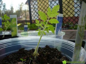 Hartowanie rozsady – warzywa, kwiaty i zioła z parapetu