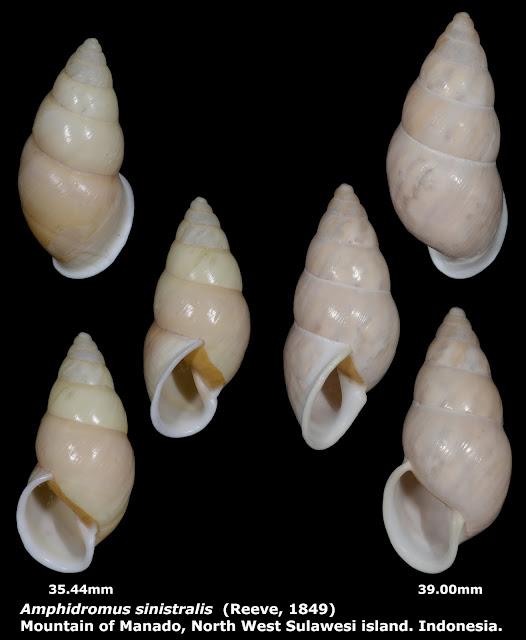 Amphidromus sinistralis 35.44 & 39.00mm