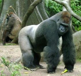 ADN del gorila