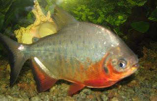 Tips Jitu Teknik Memancing,cara memancing ikan kakap,merah,putih,bawal besar,lele,empang,malam hari,yang ampuh,