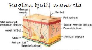 Bagian kulit - indra peraba
