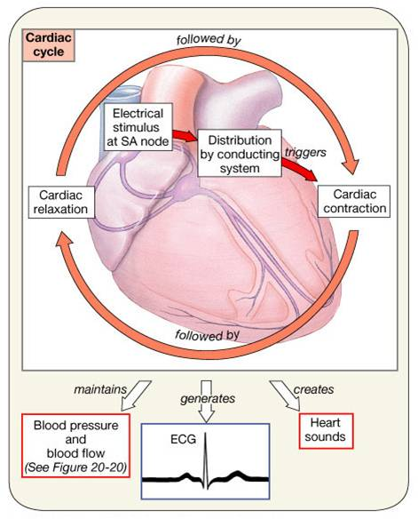 cardiac muscle and extra ventricular contraction