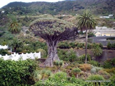 Parque Drago Milenario, Icod Vinos, Tenerife