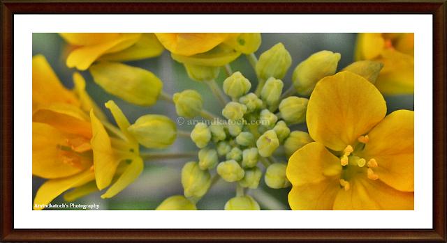 Yellow flower, yellow, flower, Flower world, yellow flower buds,